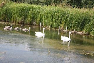 Swans on West Beck
